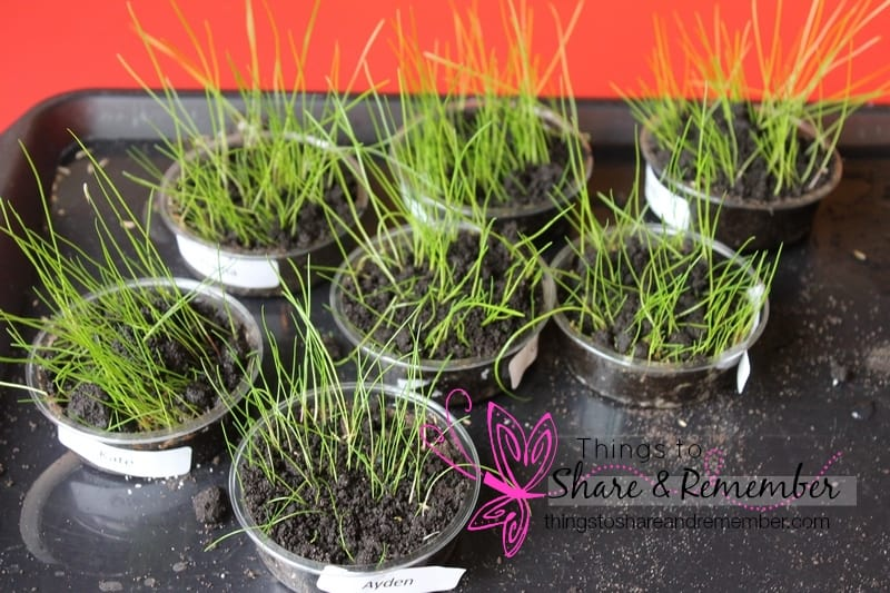 growing grass in cups science for preschoolers