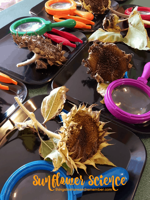 sunflower science  Exploring Seeds in Preschool - sunflower and garden sensory bin for fall orchard theme