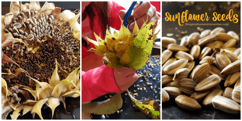 exploring sunflower seeds  Exploring Seeds in Preschool - sunflower and garden sensory bin for fall orchard theme
