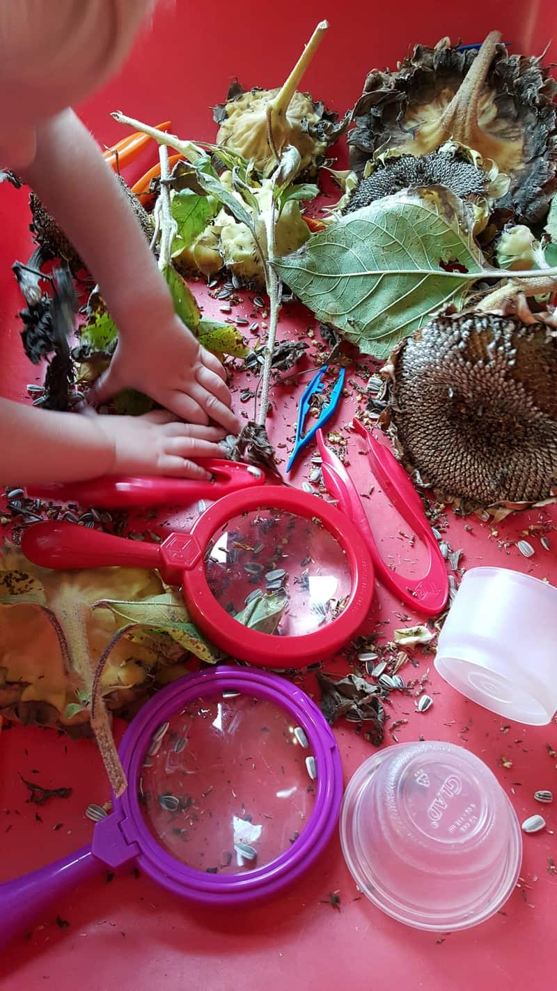 sunflower sensory #MGTblogger  Exploring Seeds in Preschool - sunflower and garden sensory bin for fall orchard theme