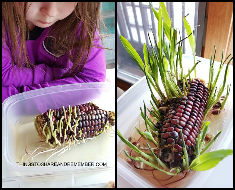 Sprouting Indian Corn preschool science activity