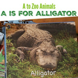 A to Zoo Animals - A is for Alligator #MGTblogger