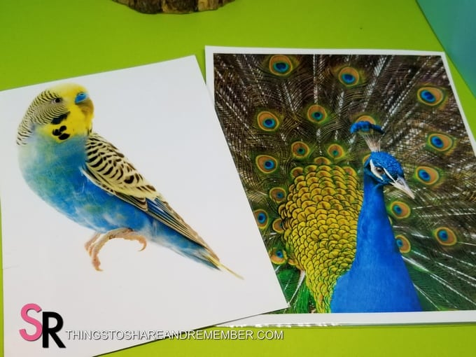 parakeet and peacock bird photos green and blue