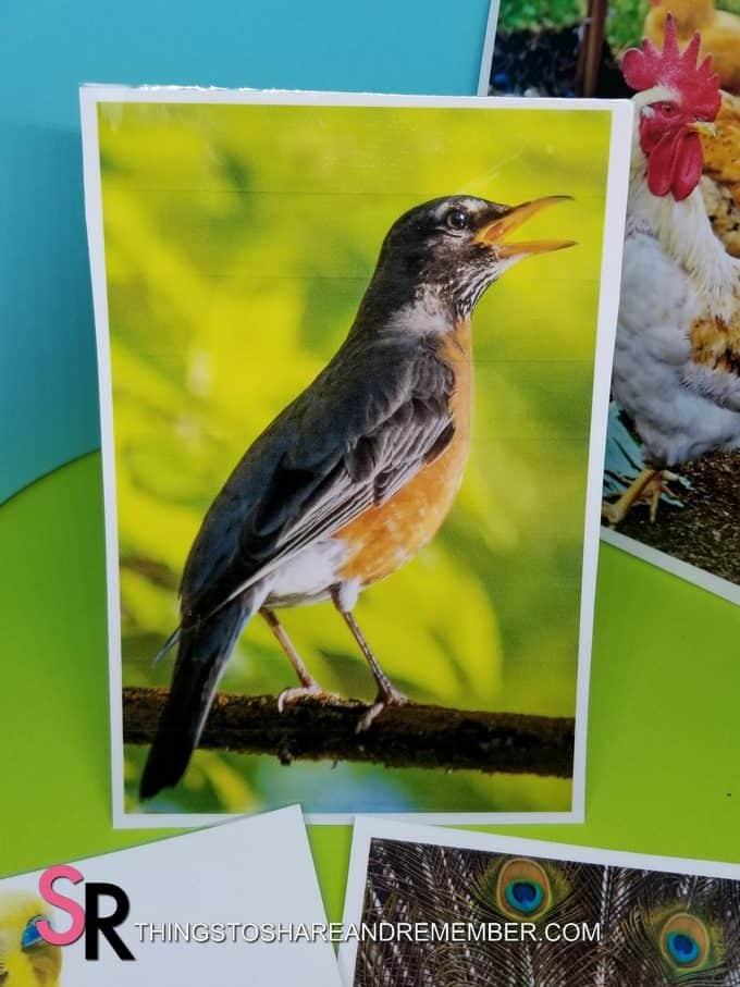 robin bird photo