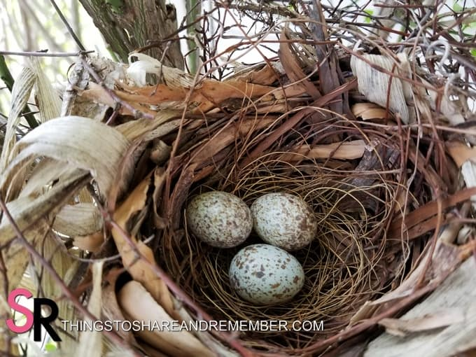 Cardinal bird nest with eggs