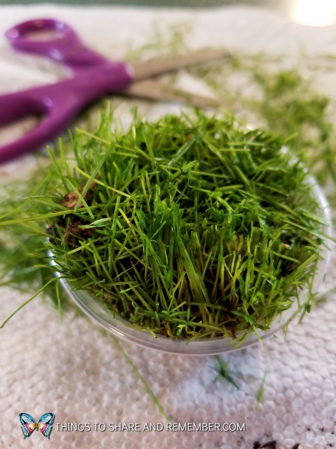 freshly cut grass with scissors
