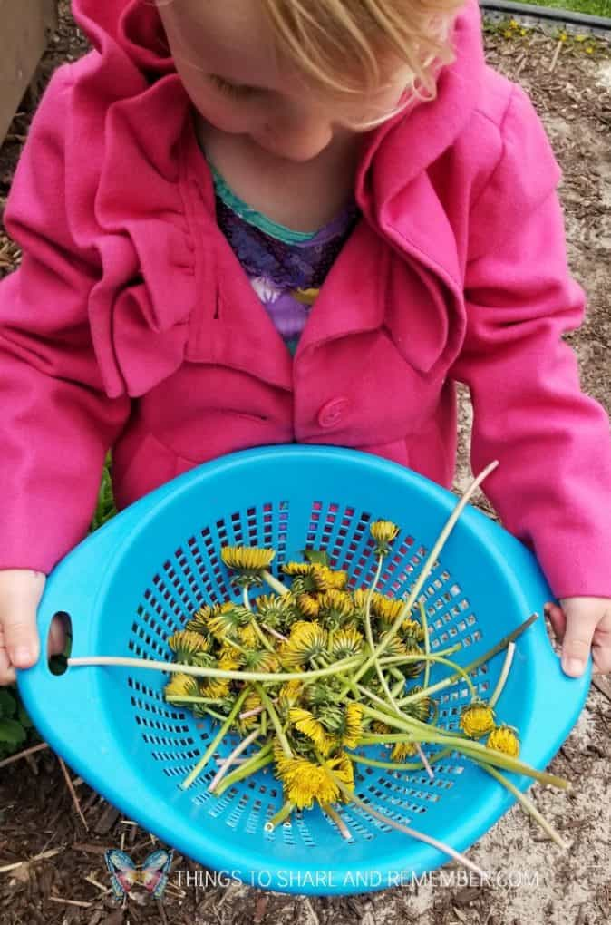 child in pink coat holding bowl of dandelions for Y is for Yellow Dandelion Play Dough