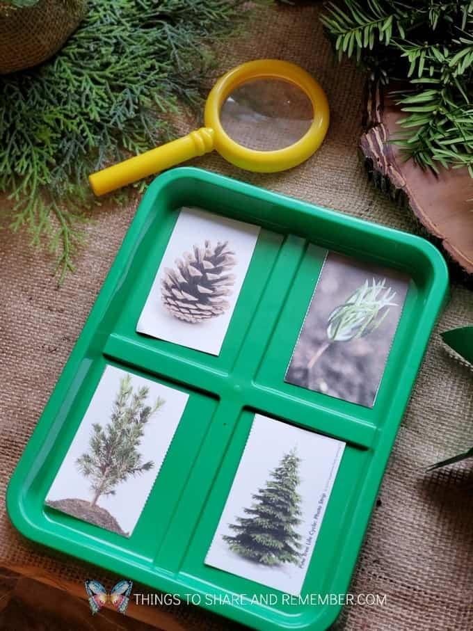 Pine Tree Investigation - Winter in the Woods - Preschool Curriculum - Experience Early Learning
