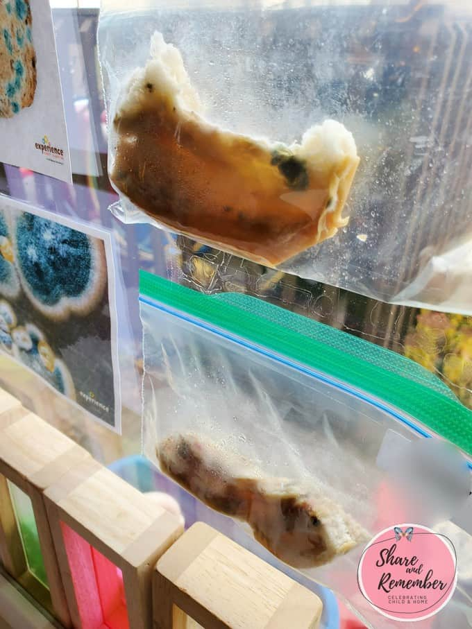 Growing Mold Science experiment - bread in a baggie in the window